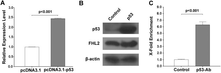 Overexpression of p53 could up-regulate the FHL2 expression in Hep3B cells. ( A ) Relative expression levels of FHL2-1a in Hep3B cells transfected with pcDNA3.1-p53 using pcDNA3.1 empty vector as control. ( B ) Protein expression of p53 and FHL2 were detected by western blotting after transfection with pcDNA3.1 and pcDNA3.1-p53. ( C ) ChIP analysis of p53-enriched DNA fragment for Hep3B cells overexpressed with p53. DNA fragment enriched in the ChIP assay were tested by qPCR. The p53 antibody used for enrichment was indicated in the x axis. Y axis represents fold enrichment of immunoprecipitated DNA (gray bars) against the control (empty bars).
