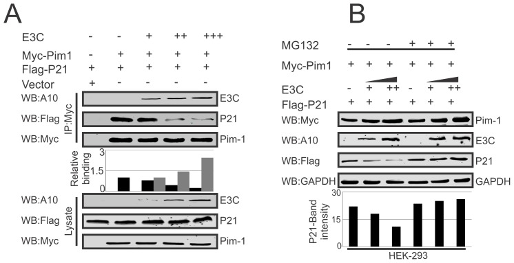 EBNA3C competes with p21 for Pim-1 binding. A–B) 10 million HEK-293 cells were transfected with different combinations of Myc-tagged Pim-1, Flag-tagged p21, untagged-EBNA3C expression vectors as indicated by <t>electroporation.</t> A) IP was performed with anti-Myc antibody and IP complexes were resolved by 10% SDS-PAGE. Western blot was performed with indicated antibodies. B) Above mentioned transfected cells were treated with MG132 drug for 6 hrs and protein lysates were prepared by RIPA buffer. Western blot analysis was performed by indicated antibodies.