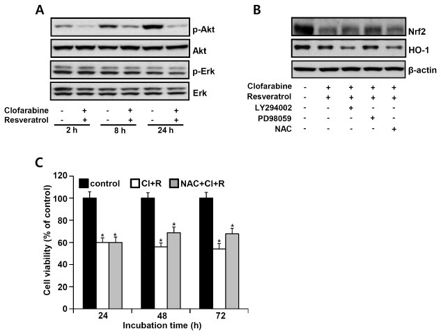 Effects of clofarabine and resveratrol on Akt and Erk1/2 phosphorylation. (A) MSTO-211H cells were treated with clofarabine (40 nM) and resveratrol (15 μM) for the indicated times. (B) Cells were pretreated with or without Ly294002 (20 μM), PD98059 (50 nM), and NAC (5 mM) for 1 h prior to combined treatment for 24 h. Cell lysates were analyzed by immunoblotting using anti-p-Akt, anti-p-Erk, anti-Nrf2, and <t>anti-HO-1</t> antibodies. (C) Cells were treated with or without NAC (5 mM) for 1 h prior to the combination treatment for 24 h. The percentage of viable cells was then determined by the trypan blue exclusion assay. *P < 0.05 compared with respective controls.