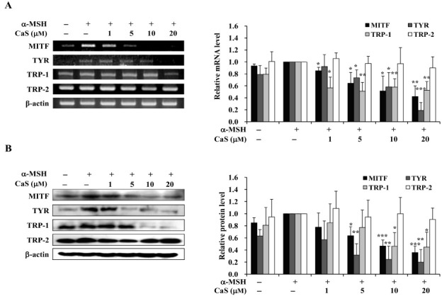 Effects of CaS on the expression of melanogenesis-related genes. The B16F10 cells were incubated in the presence of α-MSH and then treated with different concentrations of CaS (1, 5, 10, and 20 μM) for 24 h. (A) Total RNA was extracted and analyzed by RT-PCR for the expression of MITF, TYR, TRP-1, and TRP-2. PCR product levels were measured by densitometry, with the values from CaS-treated cells being quantified relative to the α-MSH-treated control. (B) Intracellular TYR, TRP-2, TRP-1, and MITF levels were measured by Western blotting. Protein levels were quantified by densitometry relative to those of the α-MSH-treated control (after normalisation relative to β-actin, shown just below the gel data). *P < 0.01, **P < 0.001, and ***P < 0.0001 vs. the α-MSH-treated control.