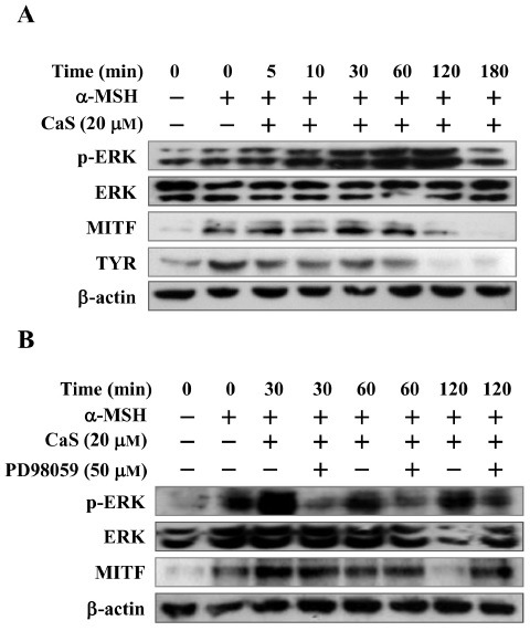 Effects of CaS on the phosphorylation of ERK in B16F10 cells. (A) Melanocytes were treated with α-MSH and 20 μM CaS for the indicated times. (B) Cells were treated with α-MSH and 20 μM CaS for the indicated times in the presence or absence of PD98059 (50 μM). Whole-cell lysates were then subjected to Western blotting using antibodies against ERK, p-ERK, MITF, and TYR. Equal protein loading was confirmed by reaction with β-actin.