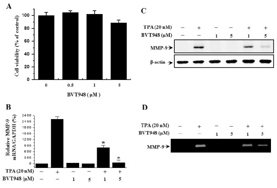 Effects of BVT948 on the viability of MCF-7 cells and TPA-induced MMP-9 expression. Cells were cultured in 96-well plates until 90% confluence, and various concentrations of BVT948 were then added to cells for 24 h. An established MTT assay was used to detect the viability of the cells (A). MCF-7 cells were treated with the indicated BVT948 concentrations in the presence of TPA for 24 h. MMP-9 mRNA levels were analyzed by real-time PCR, and GAPDH was used as an internal control (B). Cell lysates were analyzed by Western blot with an anti-MMP-9 antibody. The blot was retaken with anti β-actin to confirm equal loading (C). Conditioned medium was prepared and used for gelatin zymography (D). Each value represents the mean ± SEM of three independent experiments. *P < 0.01 vs. TPA.