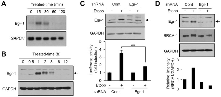 Role of Egr-1 in etoposide-induced BRCA1 expression. (A) Serum-starved HeLa cells were treated with 100 μM etoposide for different time periods. Total RNA was isolated and Egr-1 mRNA expression was assessed by Northern blotting with 32 P-labeled Egr-1 cDNA. The same blot was re-probed with 32 P-labeled GAPDH cDNA as an internal control. (B) Serum-starved HeLa cells were treated with 100 μM etoposide for different time periods. Total cell lysates were prepared and subjected to Western blot analysis with rabbit anti-Egr-1 antibody. The same blot was reprobed with anti-GAPDH antibody as an internal control. (C) HeLa cells were transiently co-transfected with 0.5 μg pBRCA1-Luc(–1066/+135) and an shRNA plasmid, pSilencer/scrambled (control siRNA; Cont ) or pSilencer/siEgr1 ( Egr-1 ), along with 50 ng of the pRL-null vector plasmid. After 24 h, the cells were left untreated or treated with 100 μM etoposide for 8 h, and the luciferase activity was measured. Egr-1 is indicated by an arrow. The knockdown of Egr-1 expression was verified by Western blot analysis ( upper panel ). Luciferase activity is shown as the mean ± SD of three independent experiments performed in triplicate (bottom graph). **P < 0.01. (D) HeLa cells were transiently transfected with 0.5 μg shRNA plasmid, pSilencer/scrambled (control siRNA; Cont ) or pSilencer/siEgr1 ( Egr-1 ). After 24 h, the cells were left untreated or treated with 100 μM etoposide for 3 h. Whole cell extracts were prepared and subjected to Western blotting with antibodies directed against Egr-1 and BRCA1. Egr-1 is indicated by an arrow. The same blot was reprobed with anti-GAPDH antibody as an internal control. The relative band intensities were measured by quantitative scanning densitometer ( bottom graph ).