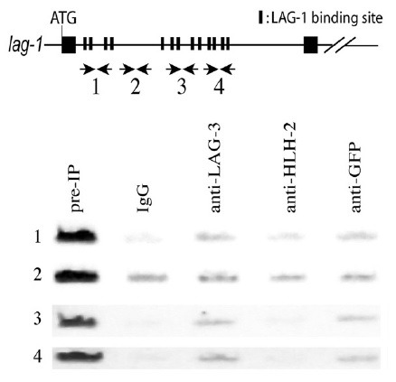 In vivo LAG-1 binding to a lag-1 regulatory region. ChIP was performed with the extracts from worms expressing SEL-8::GFP . PCR analysis was performed with primers described in MATERIALS AND METHODS. LAG-1 binding sites are in the first (1s st to 4 th LAG-1 binding sites in Fig. 1 , as well as in the in vitro DNA binding assay section in MATERIALS AND METHODS), third (5 th to 9 th ), and fourth (10 th to 13 th ) sections, but not in the second section. Pre-IP represents the input extracts subjected to IP. IgG and anti-HLH-2 antibodies were used as negative controls, and anti-LAG-3 and anti-GFP antibodies were used to detect the in vivo binding of LAG-1/LAG-3 complex to LAG-1 binding sites in lag-1 .