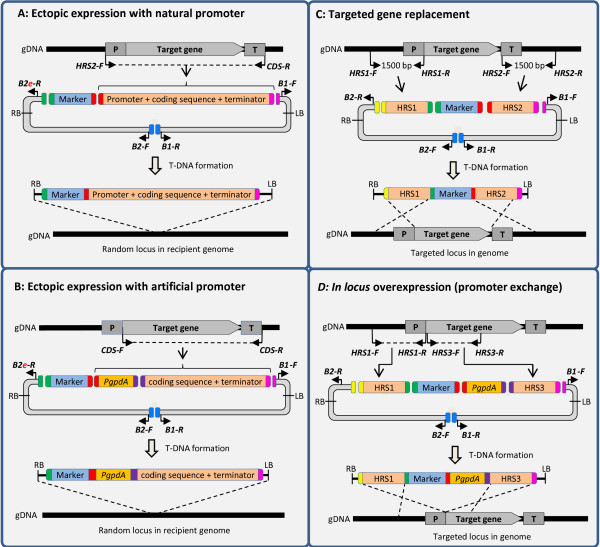 Design of vectors for random heterologous expression with the gene's natural promoter (A), with an alternative promoter (B), for targeted gene replacement (C) and in locus overexpression (D). A) Expression of the gene of interest from a random locus in the genome, driven by the gene's natural promoter. Note the use of the B2e USER-Brick to allow for direct fusion of the selection marker cassette with the B2 vector backbone. B) Overexpression of the gene of interest from a random genomic locus, with the expression driven by a heterologous promoter, in this case the gpdA promoter from Aspergillus nidulans . Note the use of the B2e USER-Brick to allow for direct fusion of the selection marker cassette with the B2 vector backbone. C) Replacement of the gene of interest. Note that the HRS1 fragment can also be reused for in locus overexpression experiments. D) In locus overexpression of the gene of interest by targeted integration of a strong constitutive promoter. Note that the HRS1 fragment can be reused for deletion experiments. Primers are represented by solid black arrows. Aberrations: gDNA = genomic DNA; P = promoter; CDS = coding sequence; T = terminator; RB LB = right left borders defining the T-DNA region; T-DNA = transfer DNA.