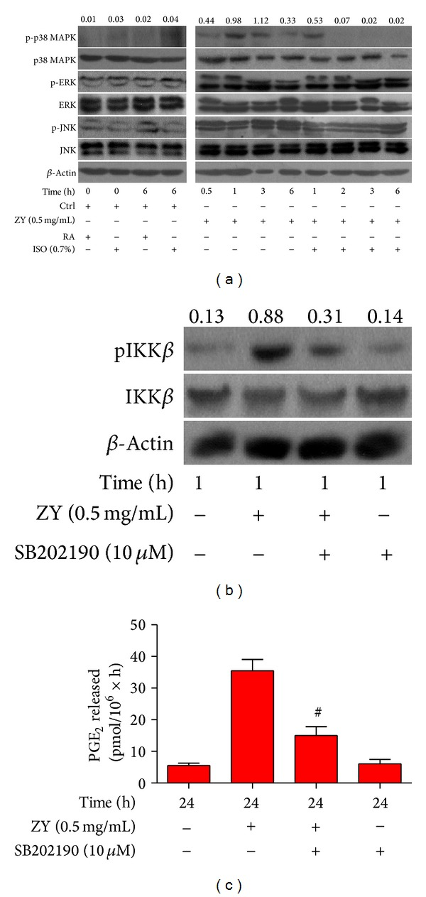 0.7% ISO reduces ZY-induced <t>p38</t> <t>MAPK</t> activation; p38 MAPK signaling is essential to ZY-induced NF- κ B activation and COX2/PGE 2 generation in vitro . (a) At 0.5 h after ZY or CM (Ctrl) treatment, KCs (1 × 10 6 cells/well in six-well culture plates) were exposed to RA with or without 0.7% ISO for 0.5 h. The cells were continuously stimulated with Ctrl for 0 h and 6 h or ZY (0.5 mg/mL) for 0.5, 1, 2, 3, and 6 h. Western blot analysis was used to assess the phosphorylation of p38 MAPK (Thr180/Tyr182), JNK (Thr183/Tyr185), and ERK1/2 (Thr185/Tyr187). β -Actin was used as the internal control. The ratio from p-p38 MAPK to p38 MAPK is indicated above the bands. (b) The KCs with or without SB202190 (10 μ M) pretreatment for 0.5 h were treated with ZY (0.5 mg/mL) or Ctrl for 1 h. Western blot was performed to determine the phosphorylation of IKK β (Ser180). β -Actin was used as the internal control. The ratio from pIKK β to IKK β is indicated above the bands. (c) The KCs with or without SB202190 (10 μ M) pretreatment for 0.5 h were treated with ZY (0.5 mg/mL) or Ctrl for 24 h. RIA was performed to detect PGE 2 release. Representative data are from three independent experiments and expressed as mean ± SD. * P