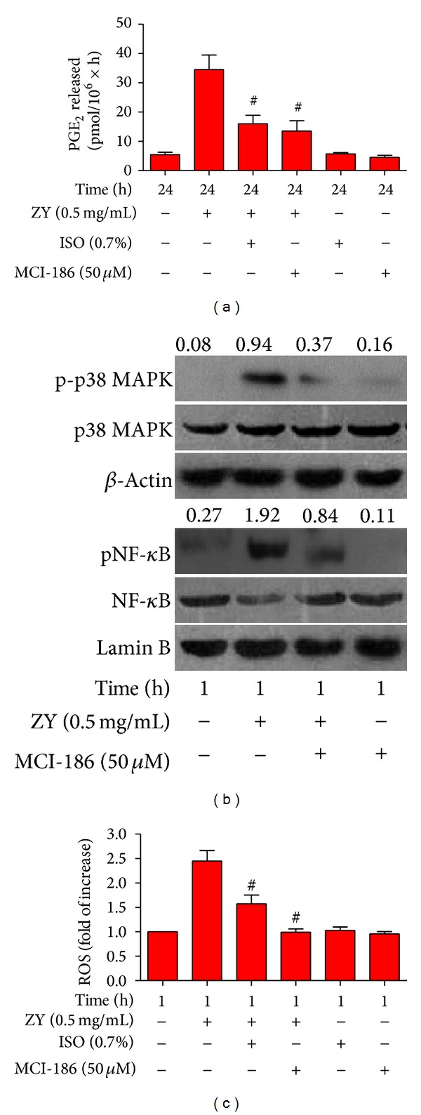 0.7% ISO reduces ZY-induced ROS generation; ROS is essential to ZY-induced activation of p38 MAPK and NF- κ B, as well as PGE 2 production. (a) At 0.5 h after KCs (1 × 10 6 cells/well in six-well culture plates) were treated with ZY or CM (Ctrl) for 0.5 h with or without MCI-186 (50 μ M) pretreatment for 0.5 h, the cells were exposed to RA with or without 0.7% ISO for another 0.5 h. The KCs were continuously treated with ZY (0.5 mg/mL) or Ctrl for 24 h. RIA was performed to detect PGE 2 production. (b) The KCs with or without MCI-186 (50 μ M) pretreatment for 0.5 h were treated with ZY (0.5 mg/mL) or Ctrl for 1 h. Western blot was performed to determine the phosphorylation of p38 MAPK (Thr180/Tyr182) and NF- κ B (Ser536). β -Actin and lamin B were used as the internal controls. The ratios from p-p38 MAPK to p38 MAPK and from pNF- κ B to NF- κ B are indicated above the bands. (c) The KCs (5 × 10 4 cells/well in 96-well culture plates) with or without MCI-186 (50 μ M) pretreatment for 0.5 h were stimulated with ZY (0.5 mg/mL) for 1 h with or without 0.7% ISO posttreatment for 0.5 h. DCFH-DA was used to assess the production of intracellular ROS. Representative data are from three independent experiments and expressed as mean ± SD. * P