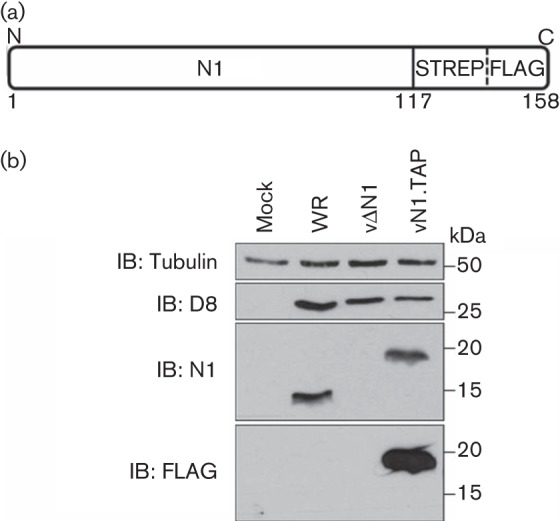 Generation of a recombinant TAP-tagged N1 virus. (a) Fusion of a TAP [streptavidin (STREP) and FLAG] tag at the C terminus of N1. (b) Infection of BS-C-1 cells with VACV strain WR, a recombinant VACV lacking the N1L gene (vΔN1) or a recombinant VACV expressing TAP-tagged N1 (vN1.TAP) at 2 p.f.u. per cell for 16 h. Whole-cell lysates were resolved by SDS-PAGE and immunoblotted (IB) with the indicated antibodies. Molecular mass markers are also included.