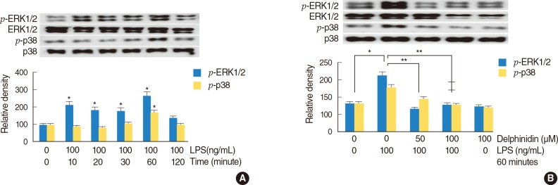 The effects of delphinidin on LPS-induced phosphorylation of ERK1/2 and p38 MAPK in NCI-H292 cells. (A) Results of Western blot showed that LPS significantly activated the phosphorylation of ERK1/2 and p38 MAPK. (B) Results of Western blot showed that LPS-induced phosphorylation of ERK1/2 and p38 MAPK were significantly blocked by pretreatment with delphinidin for 60 minutes before being incubated with LPS for 60 minutes. ERK1/2, extracellular signal related kinase 1/2; MAPK, mitogen-activated protein kinase; LPS, lipopolysaccharide. * P