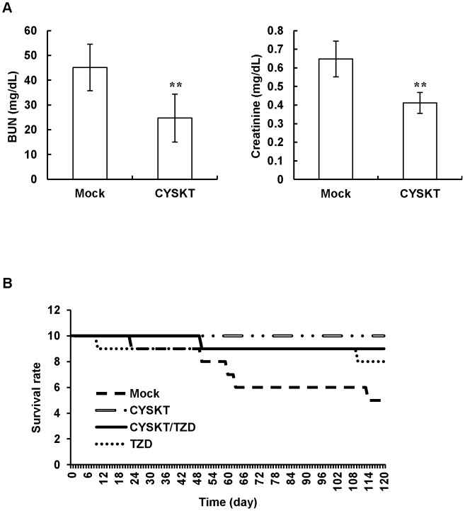 Effects of CYSKT on renal function indexes and survival rate in type 2 diabetic mice. (A) CYSKT (200 mg/kg) was orally given to type 2 diabetic mice for 30 consecutive days. The levels of BUN and creatinine in sera were measured by an autoanalyzer. Values are mean ± SD ( n = 5). ** p