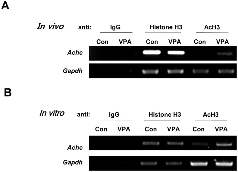 Acetylation of histone H3 bound to promoter region of Ache was increased by VPA treatment. To confirm the effect of HDACIs on the upregulation of AChE, ChIP was performed using prefrontal cortex from VPA rat and VPA treated cortical NPCs from SD rat. (A) ChIP results using prefrontal cortex of rat prenatally exposed to VPA or PBS (con) (B) ChIP results from cortical neural progenitor cells of rat. Gapdh was used as a positive control for this analysis. (AcH:acetylated Histone H3, Ache:acetylcholinesterase).