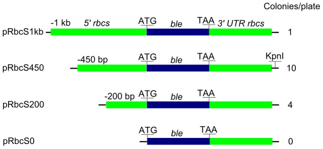 Schematics of the LiRbcS transformation constructs and corresponding average number of resultant colonies per plate. The number of colonies is the average of 12 different transformation events. The blue boxes represent the ble coding sequence, and the green boxes represent the LiRbcS promoter and terminating sequence. KpnI restriction site used in Southern blot hybridization is marked on the construct that was used for L. incisa transformation.