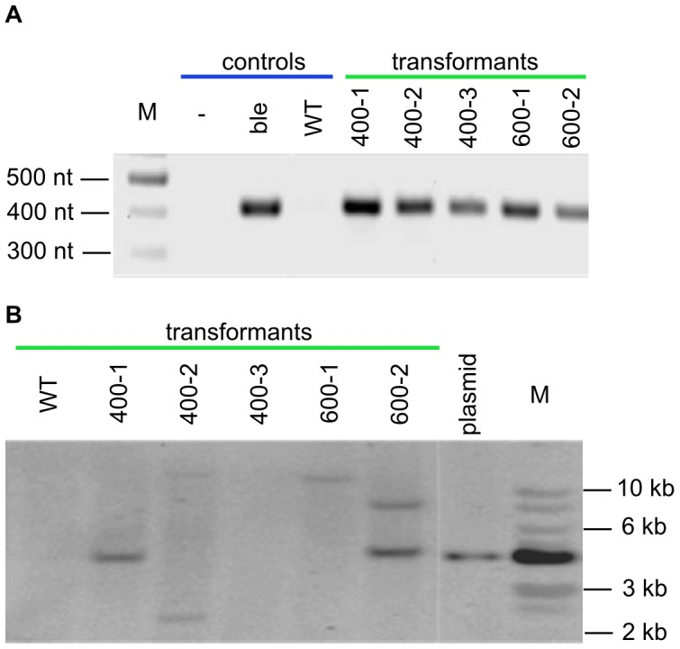 Molecular analyses of L. incisa clones transformed with a pRbcS450 construct. (A) PCR analysis: gDNA was amplified with BleF and BleR primers yielding a 415-bp fragment. Lanes: (M) DNA ladder; (-) no template, (Ble) ble plasmid control, (wt) negative control (non-transformed cells); five transformed clones. (B) Southern blot analysis: gDNA isolated from both transgenic and non-transgenic cells, as well as plasmid DNA (pRbcS450), were digested with KpnI restriction enzyme. The blot was hybridized with a probe derived from a 415-bp amplified fragment of the ble gene. Lanes: (M) 1 Kb ladder; (plasmid) positive control; five transformed clones; (wt) negative control (non-transformed cells).