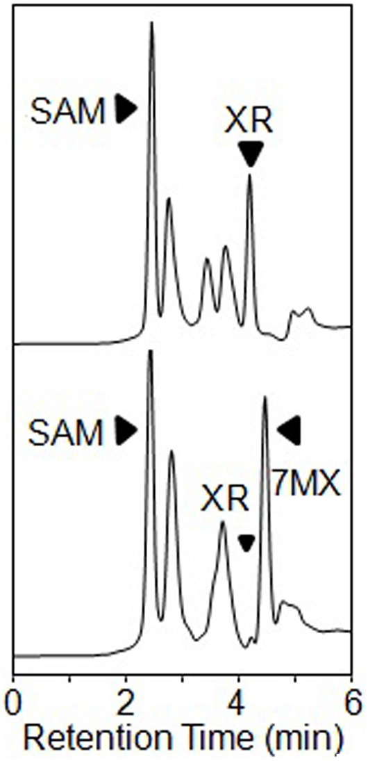 HPLC analysis after co-expression in E. coli of recombinant CaXMT1 andTCS1 by using pGEX-4t-2 vector. The top trace shows the negative control and the bottom trace shows the products of the sample enzymatic reaction. XR is substrate and SAM is added into the reaction as methyl donor.