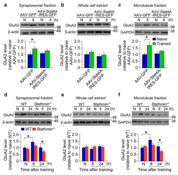 Stathmin regulates learning-dependent dendritic transport of GluA2 ( a–c ) Immunoblot estimation of the level of GluA2 in synaptosomal ( a , n = 8 per group, pooled tissues from 3–4 mice per sample whole cell extract ( b, n = 4 per group) and microtubule ( c , n = 4 per group, pooled tissues from 3–4 mice per sample) fractions of the DG in mice injected with AAV-GFP or AAV-Stat4A-IRES-GFP in naïve and 8 h after training conditions. * p