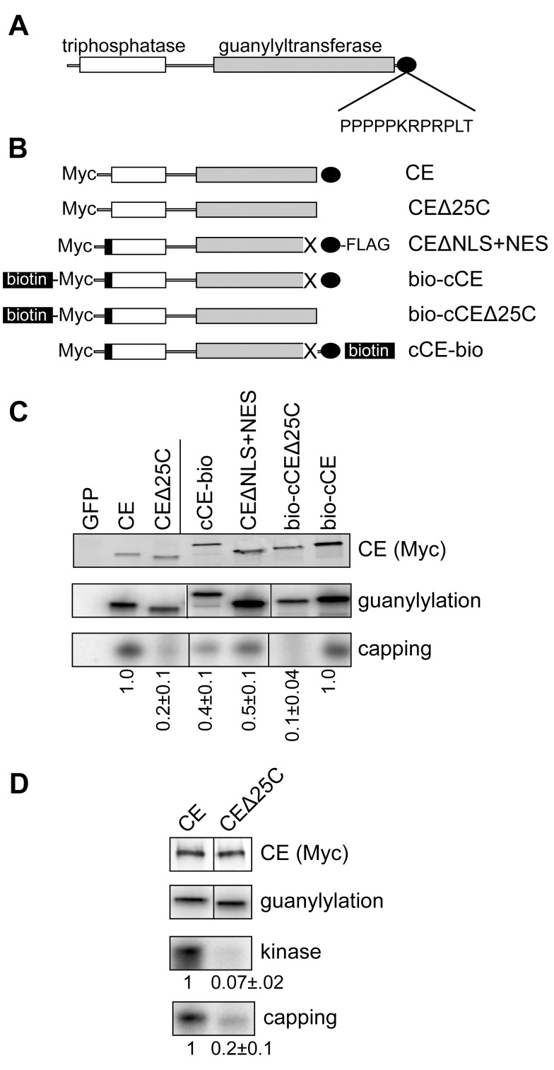 The capping enzyme C-terminus participates in assembly of the cytoplasmic capping complex. (A) The organization of vertebrate CE is shown with the N-terminal triphosphatase domain indicated in white, the guanylyltransferase domain indicated in grey, and the proline-rich C-terminus indicated by the black oval. The proximity of the proline-rich sequence to the C-terminus is indicated by the sequence of the last 12 amino acids of human CE. (B) The forms of CE used to analyze the impact of C-terminal modifications is shown. In the nomenclature used here CE corresponds to full-length protein with an N-terminal Myc tag. CEΔ25C is the same protein missing the C-terminal 25 amino acids. This deletion includes the NLS. CEΔNLS+NES was described in Otsuka and colleagues [11] and consists of Myc-tagged CE with the NLS deleted (X), a C-terminal FLAG tag and the HIV Rev NES (black box). In bio-cCE the NLS is deleted and a sequence that is biotinylated in vivo is added upstream of Myc tag and Rev NES. In bio-cCEΔ25C the C-terminal 25 amino acids of this protein were deleted. cCE-bio is similar to CEΔNLS+NES except that the C-terminal FLAG tag is replaced with the biotinylation sequence. (C) The plasmids shown in (B) or a plasmid expressing Myc-tagged GFP were transfected into HEK293 cells. GFP or CE and its associated proteins were recovered with anti-Myc beads (CE, CEΔ25C, cCE-bio, and CEΔNLS+NES) or streptavidin beads (bio-cCE and bio-cCEΔ25C). The recovered protein was incubated with α-[ 32 P]GTP and analyzed for the covalent binding of [ 32 P]GMP (guanylylation) [11] , and for [ 32 P]GMP labeling of 5′-monophosphate RNA (capping). The products were separated by denaturing gel electrophoresis and visualized by autoradiography. The amount of capping activity relative to guanylylation activity is shown at the bottom of the figure, with results normalized to either CE or to bio-cCE as indicated by the vertical line. (D) The experiment in (C) was repeated with an additional assay f