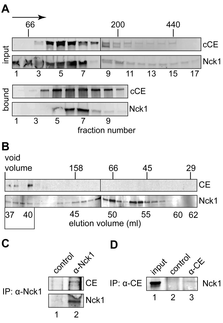 Identification of Nck1 as a component of the cytoplasmic capping complex. (A) Cytoplasmic extract from cells expressing bio-cCE was separated on a 10%–50% glycerol gradient. Fractions containing each of these proteins were identified by Western blotting of input fractions with antibodies to the Myc tag on bio-cCE and to Nck1 (upper 2 panels). Streptavidin beads were used to recover bio-cCE from individual fractions and bound proteins were again analyzed by Western blotting with anti-Myc and anti-Nck1 antibodies (lower two panels). (B) Cytoplasmic extract from non-transfected cells was separated on a calibrated Sephacryl S-200 column. Starting with the void volume individual fractions were collected and analyzed by Western blotting with anti-CE and anti-Nck1 antibodies. The missing CE band in fraction 3 was due to sample loss during loading. (C) The fractions indicated with a box at the bottom of (B) were pooled and immunoprecipitated with anti-Nck1 or control IgG. 20% of the immunoprecipitated sample was used for Western blotting with anti-Nck1 antibody and 70% of the immunoprecipitated sample was used for Western blotting with anti-CE antibody. (D) Cytoplasmic extract from non-transfected cells was immunoprecipitated with anti-CE antibody or control IgG, and the recovered proteins were analyzed by Western blotting with anti-Nck1 antibody.