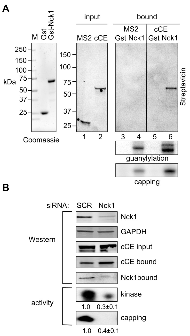 The cytoplasmic capping complex assembles on Nck1. (A) Gst and Gst-Nck1 were expressed in E. coli and protein purified on glutathione agarose was analyzed by SDS-PAGE stained with Coomassie Blue (left panel). The middle panel is a Western blot using HRP-streptavidin of cytoplasmic extracts of cells that were transfected with plasmids expressing bio-cCE or MS2-bio. Gst- or Gst-Nck1 bound glutathione beads were added to each of these extracts (right panels) and bound proteins were analyzed by Western blotting with HRP-streptavidin (top panel), for guanylylation activity (middle panel), and for capping activity (bottom panel). The single band in guanylylation assay of MS2-bio expressing cells is endogenous CE, the two bands in bio-cCE expressing cells correspond to endogenous CE and bio-cCE. (B) 293 cells were transfected with Nck1 siRNA or a scrambled control and plasmid expressing bio-cCE. The effectiveness of Nck1 knockdown was determined by Western blotting with anti-Nck1 and anti-GAPDH antibodies, and the expression of bio-cCE and its recovery on streptavidin beads was monitored by Western blotting with anti-Myc antibody. The recovery of Nck1 with bio-cCE was determined by Western blotting with anti-Nck1 antibody (upper panels). In the bottom two panels the recovered complexes were assayed for recovery of 5′-kinase activity and capping activity, normalized to bio-cCE recovery, with the mean ± standard deviation ( n = 3) shown beneath each autoradiogram. For each of these p -value was