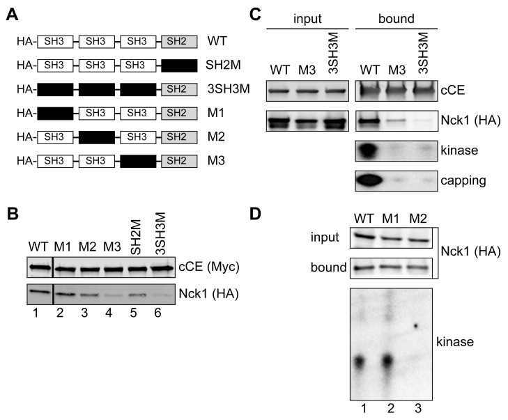 Identification of the CE and 5′-kinase binding domains. (A) The organization of Nck1 (wild type [WT]) is shown together with a series of plasmids expressing HA-tagged forms with inactivating mutations (black box) in each of the functional domains. (B) HEK293 cells were co-transfected with plasmids expressing the indicated forms of Nck1 and bio-cCE. Protein recovered on streptavidin beads was analyzed by Western blotting with antibodies to the Myc tag on bio-cCE and the HA tag on Nck1. (C) Cells were co-transfected with plasmids expressing bio-cCE and HA-tagged wild type Nck1 (WT) or Nck1 with inactivating mutations in the third SH3 domain (M3) or all 3 SH3 domains (3SH3M). Protein recovered on streptavidin beads was analyzed by Western blotting with Alexafluor800-coupled streptavidin (cCE) and anti-HA (Nck1) antibody. Kinase activity was assayed by incubating the recovered proteins with a 23 nt 5′-monophosphate RNA and γ-[ 32 P]ATP, and capping activity was assayed by incubating recovered proteins with with ATP and α-[ 32 P]GTP. The products of each reaction were separated on a denaturing polyacrylamide/urea gel and visualized by autoradiography. (D) HEK293 cells were transfected with the plasmids expressing HA-tagged forms of wild-type Nck1, or Nck1 with inactivating mutations in the first (M1) and second (M2) SH3 domains. Complexes recovered on anti-HA beads were analyzed by Western blotting (upper panels), and for 5′-kinase activity as in (C).