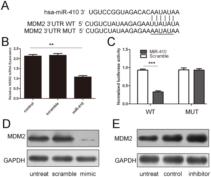 miR-410 targets at MDM2 in GC cells. (A) The sequences of miR-410 binding sites within the human MDM2 3′UTRs and schematic reporter constructs, in this panel, c-MDM2-WT represent the reporter constructs containing the entire 3′UTR sequences of MDM2. C-MDM2-MUT represent the reporter constructs containing mutated nucleotides. (B) The analysis of the relative luciferase activities of MDM2-WT, MDM2-MUT in 293T cells. The error bars are derived from triplicate expriments. (C) qRT-PCR analysis of MDM2 mRNA expression in HGC-27 cells after treatment with miRNA mimics or scramble or no transfection. The expression of MDM2 was normalized to GAPDH. (D) Western blot analysis of MDM2 expression in HGC-27 cells transfected with miR-410 mimics or scramble or no transfection. GAPDH was also detected as a loading control.