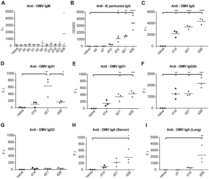 Antibody profiling after B. pertussis infection. Antibody responses were determined in mouse sera after intranasal infection by whole cell B. pertussis ELISA or MIA and expressed as OD450 or Fluorescent Intensity (F.I.) respectively. (A) IgM against OMV B1917 were absent. (B) Whole cell B. pertussis ELISA indicated IgG antibody formation 10–14 days p.i., which increased until day 28 days p.i. (C–G) Levels of total IgG and individual subtypes (IgG1, IgG2a, IgG2b and IgG3) against OMV B1917 indicated presence of multiple subclasses. (H) Anti-OMV IgA antibodies in serum were induced after 14–28 days p.i. (I) In lung lysates, anti-OMV IgA antibodies were detected 14 and 28 days p.i. I p -values were determined by one-way ANOVA with multiple comparison compared to naive mice (* = p