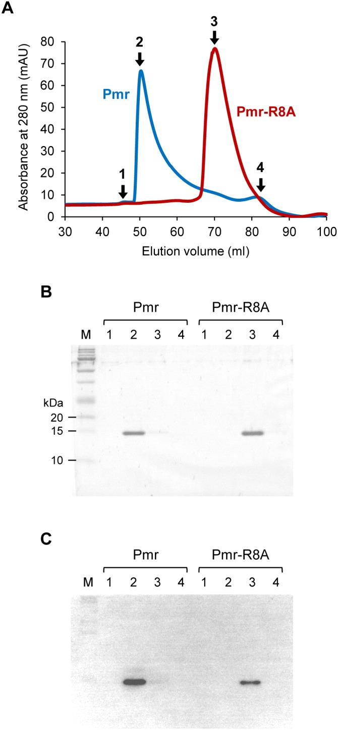 "<t>Gel-filtration</t> <t>chromatography</t> of Pmr and Pmr-R8A. (A) Elution profiles of Pmr (blue line) and Pmr-R8A (red line). The figures present the absorbance at 280 nm as a function of the elution volume (ml). One milliliter of purified proteins at 140 µM was applied to a HiLoad 16/60 Superdex 200 prep-grade column in buffer B (20 mM Tris-HCl (pH 7.5, 4°C), 0.5 M NaCl, 10% glycerol, and 0.5 M imidazole). The numbers indicate the fractions which were applied to Tricine-SDS-PAGE and Western blot analysis. (B) Tricine-SDS-PAGE profiles of fractions from gel filtration chromatography. The numbers correspond to elution profiles shown in panel A. Ten microliters were applied to Tricine-SDS-PAGE from 1 ml of the fraction. ""M"" indicates the <t>protein</t> marker. (C) Western blot analysis using anti-His antibody and the same samples in Tricine-SDS-PAGE shown in panel B."