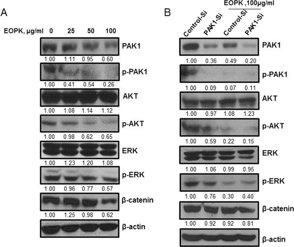 EOPK suppresses AKT and ERK phosphorylation and β-catenin expression via <t>PAK1</t> inhibition in HCT116 colorectal cancer cells. (A) HCT116 cells were treated with various concentrations of EOPK (25, 50, 100 μg/ml). (B) HCT116 cells were transfected with PAK1-siRNA or a control siRNA for 48 h and incubated in the presence or absence of EOPK (100 μg/ml) for 24 h. For both experiments, cell lysates were prepared and subjected to Western blotting to determine the expression of PAK1, p-PAK1, AKT, p-AKT, ERK, p-ERK, β-catenin and β-actin. Band density of PAK1, p-PAK1, AKT, p-AKT, ERK, p-ERK, and β-catenin was quantified using Gelpro analyzer (Media Cybernetics, Bethesda, MD, USA).