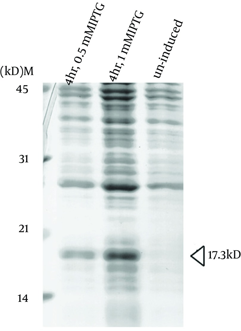 Overexpression of the Recombinant M. tuberculosis MutT Protein in BL21 (DE3) Plasmid pET28a (+)-mutT was overexpressed in E. coli strain BL21 (DE3) upon IPTG induction to produce the recombinant M. tuberculosis MutT protein. Lysates of bacteria were fractionated in a SDS-PAGE gel, and stained with Coomassie Blue. The recombinant M. tuberculosis MutT protein of 17.3 kD was found in the fractions.