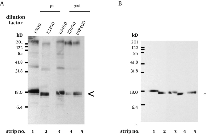 Characterization of the Anti- M. tuberculosis MutT Antisera A. Titers of antisera prepared from the same rabbit immunized with purified M. tuberculosis MutT are examined using total lysate of E. coli strain BL21 (DE3) harboring pET28a (+)-mutT. The batches of antisera were collected on the 6th (1st) and the 7th day (2nd) after the 1st and the 2nd boost immunization, respectively. A prominent signal of the recombinant M. tuberculosis MutT protein was still present (arrowhead) even at high dilution factors. B. The same blots were stripped and probed with anti-His antibody (Clontech, 1:5000) to mark the position of the recombinant M. tuberculosis MutT protein.