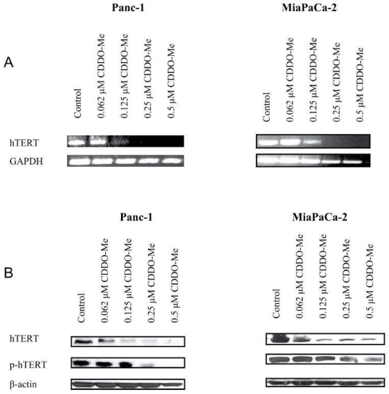 CDDO-Me inhibits hTERT expression in pancreatic cancer cells A. Effect of CDDO-Me on hTERT gene expression. Panc-1 and Mia PaCa-2 cells were treated with CDDO-Me (0–0.5 μM) for 5 days and total cellular <t>RNA</t> was prepared using TRI-zole reagent. 1 μg of cellular RNA was reverse transcribed using <t>oligo-dt</t> primer and high fidelity reverse transcriptase. 1 μL of cDNA was amplified using hTERT or GAPDH primers. Amplified products were separated on 2% DNA agarose gel. Gels were stained with ethidium bromide and DNA fragments were identified by base pair size. B. Effect of CDDO-Me on hTERT protein. Panc-1 and MiaPaCa-2 cells were treated with CDDO-Me as described above and cell lysates were analyzed for hTERT and p-hTERT protein by western blotting. Each experiment was repeated at least three times.