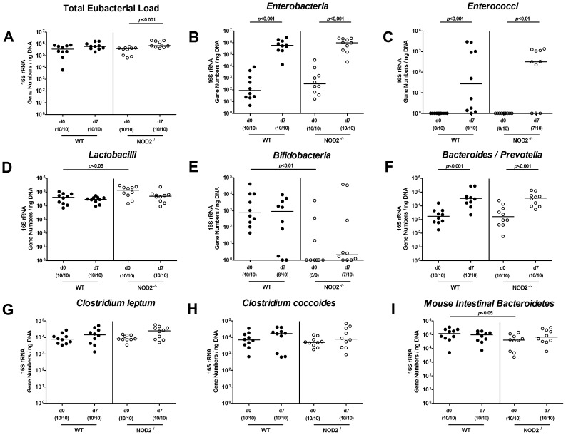 Intestinal microbiota composition of NOD2 deficient mice following ileitis induction. Main bacterial groups of the commensal intestinal microbiota were quantified by molecular analysis of fecal samples derived from C57BL/6 wildtype (WT; black circles) and NOD2 deficient (NOD2-/-; white circles) mice before (N, naïve) and seven days after ileitis induction by peroral T. gondii infection (ILE). Quantitative Real-Time-PCR analyses amplified bacterial <t>16S</t> <t>rRNA</t> variable regions and 16S rRNA gene numbers/ng DNA from the following bacterial groups: ( A ) Total eubacterial load, ( B ) Enterobacteria , ( C ) Enterococci , ( D ) Lactobacilli , ( E ) Bifidobacteria , ( F ) Bacteroides/Prevotella spp., ( G ) Clostridium leptum group, ( H ) Clostridium coccoides group, and ( I ) Mouse intestinal Bacteroidetes . Numbers of mice harboring the respective bacterial 16S rRNA out of the total number of analyzed animals are given in parentheses. Medians and significance levels ( p -values) determined by Mann-Whitney-U test are indicated. Data shown are representative for three independent experiments.