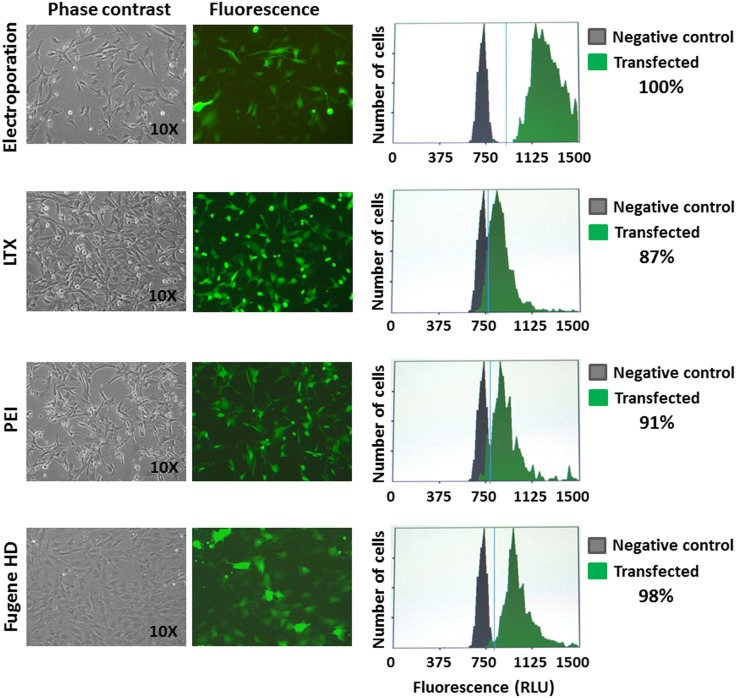 Transfection. Representative phase contrast and fluorescence images (10x) of <t>ASSCs</t> transfected with a GFP expression plasmid by different methods (Electroporation, LTX, PEI and <t>Fugene</t> HD), along with the efficiency of transfection as measured by cytometry. Each set of transfections was performed three times and standard deviations were negligible.