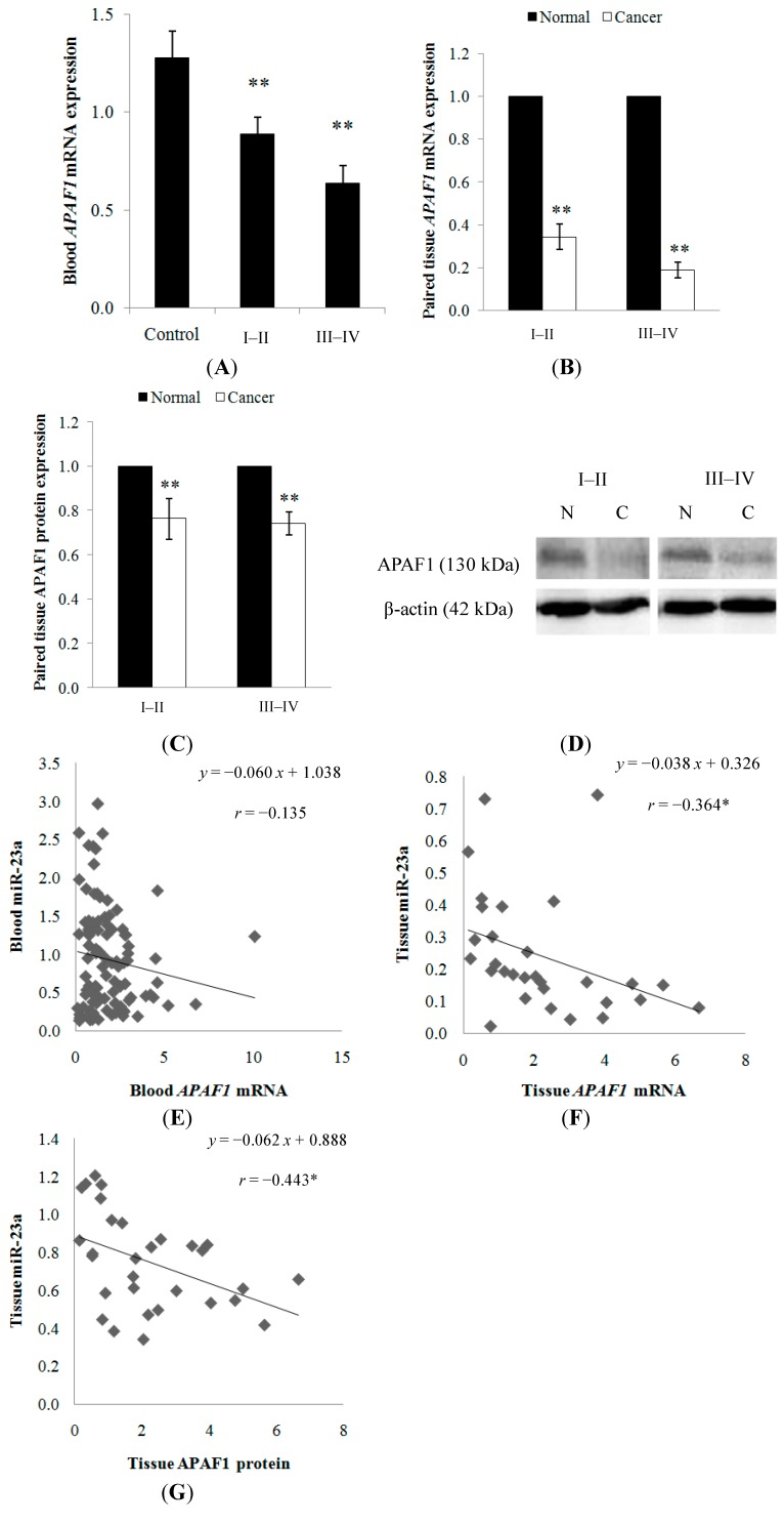 ( A ) APAF1 expression was detected in the blood samples from healthy controls and CRC patients. A decreasing trend of expression was observed as the cancer progressed from stage I–II to stage III–IV tumors; ( B ) APAF1 mRNA and ( C ) protein expressions were detected in the paired cancer tissues. Relative expression is expressed as fold change of cancer tissue versus the adjacent normal mucosa. Fold change below 1 indicates down-regulation; ( D ) the representative blots of APAF1 protein expression in the normal mucosa N and cancer tissue C . β-actin was used as the loading control; ( E ) correlation graph for blood miR-23a and APAF1 mRNA; ( F ) correlation graph for tissue miR-23a and APAF1 mRNA; and ( G ) correlation graph for tissue miR-23a and APAF1 protein. Data are presented as mean ± SEM. * p