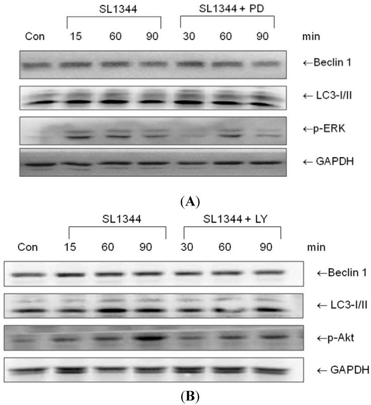 The role of ERK or Akt on the Beclin 1 and LC3II proteins expression in Salmonella -infected Caco-2 cells. Caco-2 cells were uninfected (Con) or infected by wild-type S . typhimurium strain SL1344 for indicated times, in the presence or absence of PD98059 (PD) or LY294002 (LY). Immunoblots were performed on whole cell lysates with antibody to detect Beclin 1 and LC3II expression, or GAPDH for normalization of proteins. Representative immunoblots of Beclin 1 and LC3II proteins expression in Salmonella -infected Caco-2 cells in the presence of PD ( A ) or LY ( B ) are shown.