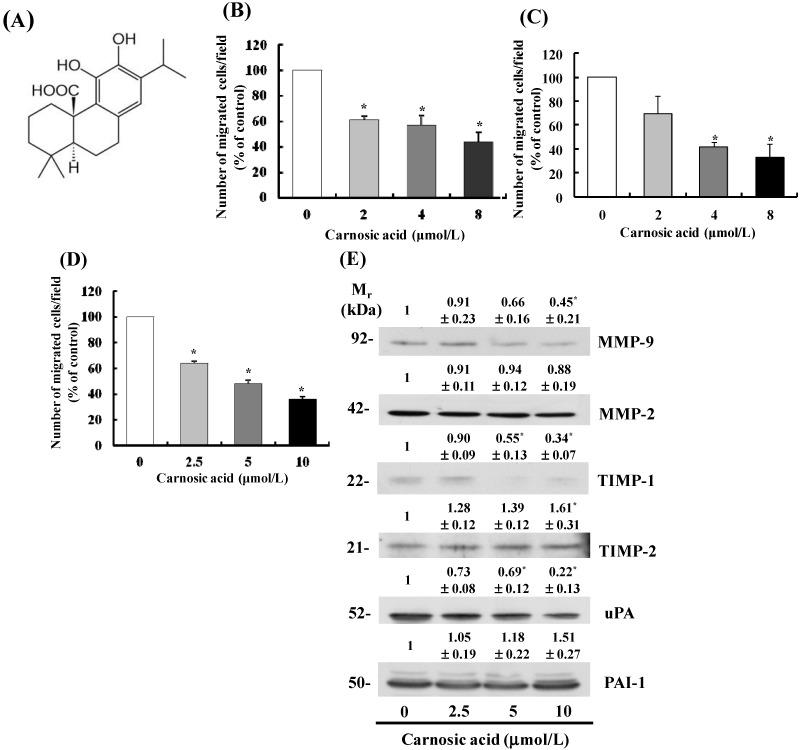 Carnosic acid inhibits migration of B16F10 melanoma cells. ( A ) Structure of carnosic acid; ( B – D ) Transwell migration assays were conducted with Lewis lung cancer (LLC) cells (2.5 × 10 4 cells/well) ( B ); CT26 cells (2.5 × 10 4 cells/well) ( C ); and B16F10 cells (5 × 10 4 cells/well) ( D ) Migrating cells were quantified, and each bar represents the mean ± SEM from three independent experiments; ( E ) B16F10 cells were plated in 100 mm dishes at 1 × 10 6 cells/dish in MEM supplemented with 10% FBS and 292 mg/L l -glutamine. After 12 h of incubation, the monolayers were serum-starved in MEM then treated for 12 h with carnosic acid. Conditioned media were collected and concentrated for Western blotting. The volumes of media loaded onto the gel were adjusted for equivalent proteins. Photographs of chemiluminescent detection of the immunoblots, which are representative of three independent experiments, are shown. Relative abundance of each band was estimated by densitometric scanning of the exposed films. The adjusted mean ± SEM ( n = 3) of each band is shown above each blot. * Significantly different from the control (0 μmol/L carnosic acid), p