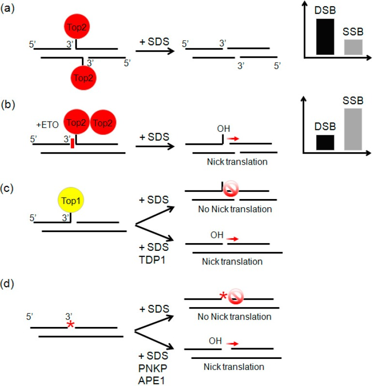 DSBs ( a ) and SSBs ( b – d ) generated in presence of Top2 ( a ); ETO ( b ); Top1 ( c ); and DNA-damaging agents that modify the DNA termini ( d ). Red arrow represents successful nick translation. Stop sign represents unsuccessful nick translation. Nick translation by DNA polymerase I necessitates a 3'-OH, which is not reconstituted in case of Top1 cleavage or when the DNA termini is damaged (shown by asterisk). In these cases the principal enzymes involved in processing and repair of the ends are listed below the black arrow. TDP1, tyrosyl-DNA phosphodiesterase 1, PNKP, polynucleotide kinase 3'-phosphatase, APE1, AP endonuclease I [ 17 ]
