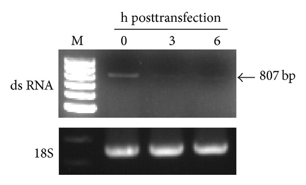 Degradation of double-stranded (ds) RNA fragments transfected into mosquito cells. A fragment (807 bp) of viral RNA extracted from C6/36 cells was detected through an RT-PCR at 0 h after transfection (hpt) with dsRNA derived from (+) or (−) 5′3′-UTR RNA. The transfected dsRNA had faded at 3 and 6 h after transfection, suggesting that dsRNAs may have been cleaved, and thus generated undetectable short interfering RNAs.