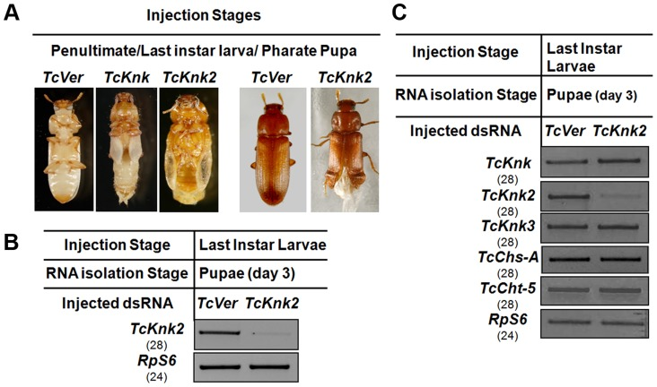 Effect of TcKnk2 dsRNA-treatment on the development of T. castaneum . (A) Injection of dsRNA for TcKnk2 into penultimate instar larvae, last instar larvae and pharate pupae (n = 60) led to lethal phenotype at pupal-adult molt (∼55%) and ∼15% adult hypomorphic phenotype with split elytra. (B) Specific down-regulation of TcKnk2 transcripts by RNAi. dsRNAs (200 ng per insect) for TcKnk2 were injected into pharate pupae. <t>Three</t> days after injection, total RNA was extracted from whole insects of at pupal stage day 3 (n = 3) and used for cDNA synthesis. (C) Specificity of TcKnk2 dsRNA-treatment. Effect of TcKnk2 dsRNA-treatment on transcripts for TcKnk , TcKnk3 and other genes involved in chitin metabolism such as TcChs-A and TcCht5 was checked by <t>RT-PCR.</t> T. castaneum ribosomal protein-S6 ( TcRPS6 ) was used as internal loading control. dsRNA for T. castaneum Vermilion ( TcVer ) and TcKnk was injected as a control.