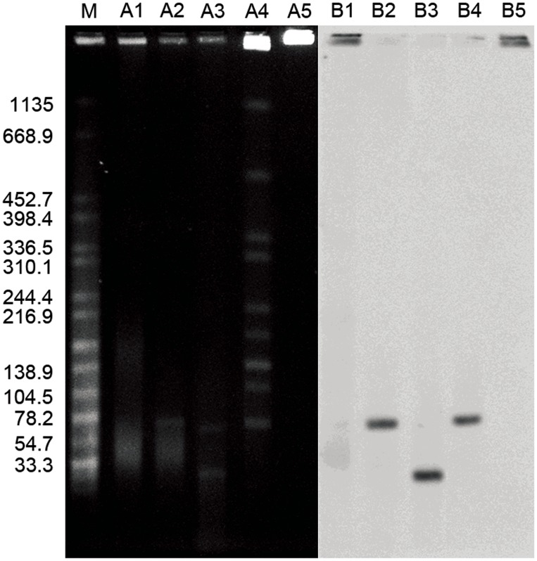 Characterization of pGui1 and pGui2 in the pathogenic L.interrogans strain Gui44 by PFGE and Southern blot. PFGE and Southern Blot (using radiolabeled spGui1 probe) of undigested plasmid DNA (lanes A1 and B1); plasmid DNA digested with NotI (A2 and B2); plasmid DNA digested with BamHI (A3 and B3); total genomic DNA digested with NotI (A4 and B4); and undigested total genomic DNA (A5 and B5). The fragment in A2 and B2 indicates the linearized pGui1 (∼78 kb). The corresponding fragment presents in A4 and B4. The larger fragment in A3 indicates the linearized pGui2. The smaller fragment in A4 is one fragment of pGui1 digested with BamHI. Salmonella Braenderup (H9812) digested with XbaI and is used as the molecular weight size standard (M).