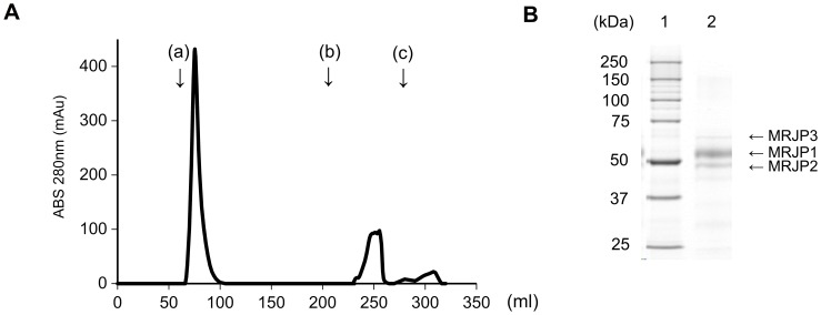 Elution profile of RJ protein using cholic acid-conjugated EAH Sepharose 4B column chromatography and 10% SDS-PAGE patterns of bile acid-binding proteins derived from RJ. (A) Elution profile of RJ protein using cholic acid-conjugated EAH Sepharose 4B column chromatography. Twenty-five milliliters of RJ protein (10-kDa cut-off RJ) solution (118 mg protein) in 0.02% NaN 3 containing 10 mM Tris-HCl (pH 8.0) were applied to the column and washed with (a) 0.5 M NaCl containing 10 mM Tris-HCl buffer (pH 8.0), (b) 0.5% sodium deoxycholate containing 10 mM Tris-HCl buffer (pH 8.0), and (c) 8 M urea containing 10 mM Tris-HCl buffer (pH 8.0). (B) 10% SDS-PAGE patterns of bile acid-binding proteins derived from RJ by cholic acid-conjugated column chromatography. Lane 1, protein standard; lane 2, bile acid-binding proteins eluted with 0.5% sodium deoxycholate from the column. The amount of applied protein in lane 2 was 4.2 µg. The bile acid-binding proteins consist of MRJP1, MRJP2, and MRJP3.