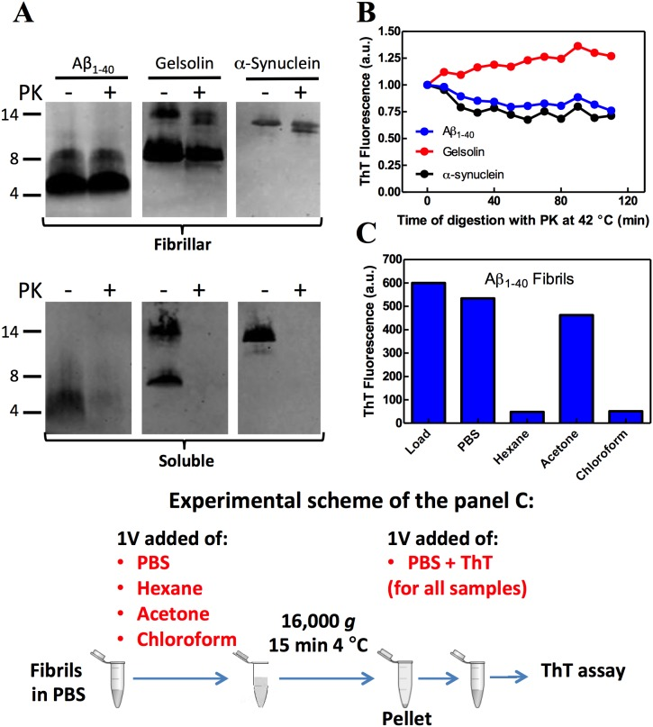 Amyloid fibrils maintained their amyloid architecture after proteolytic digestion and acetone extraction. (A) Aβ 1–40, α-syn or gelsolin peptides (65 µg/ml) in a fibrillar (upper gel) or soluble (lower gel) state were incubated in the absence or presence of 0.13 µg/ml (1∶500, w/w) proteinase K (PK) for 2 h at 42°C. The digestion was conducted in 50 mM sodium phosphate, pH 7.4, 150 mM NaCl buffer. The reaction was stopped by boiling the samples in Laemmli buffer with 2% SDS and the samples were resolved by 16% SDS-PAGE. Western blot using 6E10 (Aβ 1–40 ), syn-1 (α-syn) or a gelsolin-specific antibody is presented. (B) The same reaction described in panel A was performed in the presence of 20 µM of thioflavin T (ThT) and the florescence was monitored every 10 min. Ex = 440 nm and Em = 485 nm. (C) Aβ 1–40 amyloid fibrils at 65 µg/ml concentration were diluted in 1 volume (1 V) of PBS, hexane, acetone or chloroform and centrifuged (16,000 g) for 10 min at 4°C. The pellet was resuspended in phosphate buffer with 20 µM ThT and the fluorescence measured. An aliquot of undiluted/uncentrifuged fibrils was used as the load. Ex = 450 nm and Em = 465–520 nm.