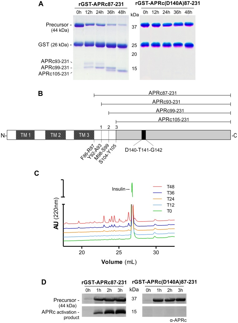 The recombinant soluble catalytic domain of APRc displays autoprocessing activity dependent on the catalytic aspartate residue. (A) The soluble catalytic domain (amino acids 87–231) was fused to GST and produced in E. coli . Upon purification, the auto-activation of rGST-APRc 87–231 was performed in vitro in 0.1 M sodium acetate buffer pH 6 at 37°C for 48 h and monitored by <t>SDS-PAGE</t> stained with Coomassie blue. rGST-APRc 87–231 undergoes multi-step auto-activation processing, resulting in the formation of the activated form APRc 105–231 with ∼14.2 kDa (left panel). Mutation of the active site aspartic acid by alanine in this fusion construct [rGST-APRc(D140A) 87–231 ] clearly impaired the auto-catalytic activity of the protease (right panel). (B) Schematic representation of full-length APRc domain organization. APRc is predicted to comprise three transmembrane domains (TM 1–3) at the N terminus and the soluble catalytic domain at the C terminus. The three auto-cleavage sites (shown in A) identified by Edman degradation are highlighted by order of cleavage (1–3). (C) Activity of wt rGST-APRc 87–231 towards oxidized insulin B chain was tested over activation time. Samples from each time point evaluated in panel A were incubated with oxidized insulin B chain. Reaction products were then evaluated by RP-HPLC showing that substrate cleavage (appearance of four major peaks) was concomitant with appearance of the final activation product. T0, T12, T24, T36 and T48, correspond to the different time points of activation (hours) tested, as shown in A. (D) rGST-APRc 87–231 auto-processing ability during expression was evaluated in total lysates of E. coli cells expressing wt rGST-APRc 87–231 or the correspondent active site mutant rGST-APRc(D140A) 87–231 over a time-course of 3 h and subsequently subjected to Western blot analysis with anti-APRc antibody. A band with approximately 15 kDa was only detected for the wt construct. Incubation and expression time course in ho