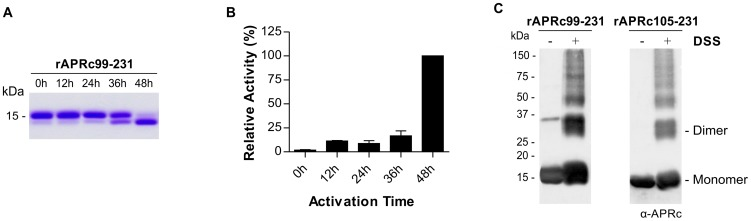 Auto-processing activity of the last intermediate of activation rAPRc 99–231 . (A) The intermediate of activation APRc 99–231 was fused to C-terminal His-tag and produced in E. coli . Upon purification, the auto-activation assays were performed in vitro in 0.1 M sodium acetate buffer pH 6 at 37°C for 48 h and monitored by SDS-PAGE stained with Coomassie blue. rAPRc 99–231 undergoes auto-processing, resulting in the formation of the activated form. (B) Activity of rAPRc 99–231 towards the fluorogenic substrate MCA-Lys-Ala-Leu-Ile-Pro-Ser-Tyr-Lys-Trp-Ser-Lys-DNP was tested over activation time. Substrate cleavage increased with accumulation of the final activation product. The error bars represent standard deviation of the mean. (C) The quaternary configuration of rAPRc 99–231 precursor and activated forms was assessed by incubating the protease with the cross-linker DSS. Both DSS treated and untreated protein samples were subjected to Western blot analysis with anti-APRc antibody. In the presence of the cross-linking agent, a significant proportion of the protein migrated as a dimer, although the monomeric forms and larger aggregates were also observed. The molecular weight markers in kilodaltons (kDa) are shown on the left.