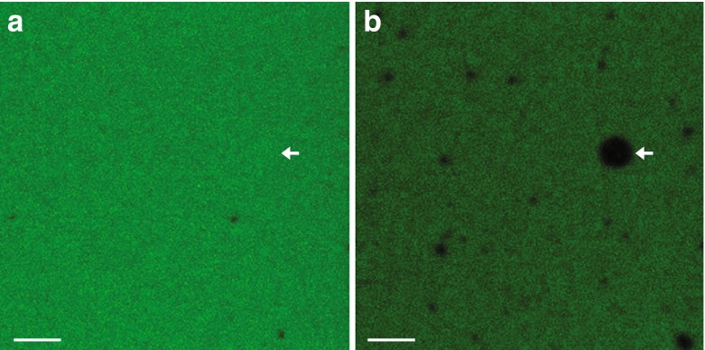 Oleic acid vesicles do not exchange RNA with the surrounding fluid. Representative confocal microscope images of a sample (a) before photobleaching and (b) 590 s after photobleaching of the indicated non-gel-filtered oleic acid vesicle in 200 mM Bicine-NaOH pH 8.5 containing 5′-6-FAM labeled RNA 15-mer (5′-CCAGUCAGUCUACGC-3′) at room temperature ( Methods ). The vesicle samples were not gel filtered in order to maintain a high RNA concentration outside of the vesicles in order to simulate conditions similar to the ATPS and coacervate systems. After the entire window was photobleached, fluorescence outside of the vesicles recovered due to rapid RNA diffusion, but fluorescence inside vesicles did not recover due to lack of transport of RNA across the membrane. Scale bars, 10 μm. See Movie S5 for full movie of photobleaching and recovery
