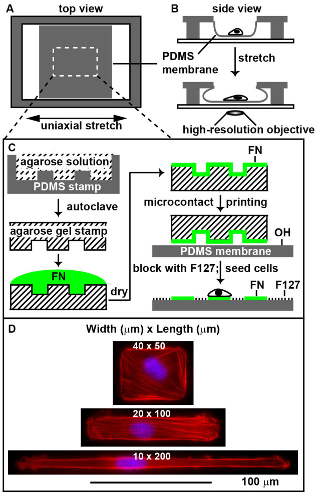 Top (A) and side (B) views of the stretching device. Single cells were confined in specific geometries on the elastic membranes (white dashed rectangle) by microcontact printing using agarose stamp (C). Fibronectin (FN, green) was used to promote cell adhesion and Pluronic F127 was used as the blocking molecule. Single C2C12 cells of 2000 μm 2 (40 × 50, 20 × 100 and 10 × 200) were successfully confined in different shapes (blue, nuclear stained by DAPI; red, F-actin stained by Rhodamine Phalloidin) (D). The entire list of the geometries of C2C12 cells can be found as Supplementary Figure S2 online.