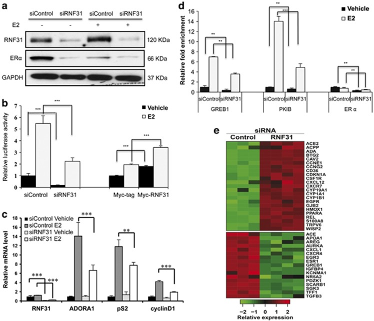RNF31 depletion decreases ERα protein levels and ERα signaling. ( a ) RNF31 depletion reduces ERα protein levels. MCF-7 cells were transfected with siRNF31 or siControl and treated with 10 n M E2 or vehicle for 72 h. ERα and RNF31 levels were determined by western blot analysis. GAPDH was used as internal control. ( b ) RNF31 depletion or overexpression affects ERα-dependent expression of an ERE-luciferase reporter gene. MCF-7 cells were transfected with siRNF31 or siControl or with plasmids expressing Myc-tagged RNF31 or Myc-tag vector alone or together with the ERE reporter plasmid. Subsequently, cells were treated with 10 n M E2 or vehicle. Luciferase activity was measured 48 h after transfection. Shown are data from triplicate measurements. *** P