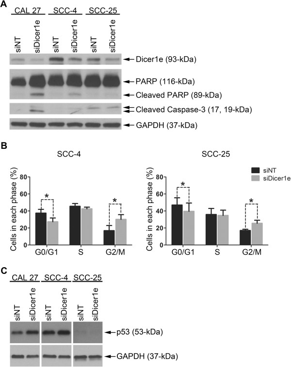 Silencing of Dicer1e induces apoptosis and/or G2/M cell cycle arrest in oral cancer cells. (A) Western blot analysis of PARP and caspase-3 cleavage levels in human OSCC cell lines (CAL 27, SCC-4, and SCC-25) 48 hours post-transfection with either control non-targeting siRNA (siNT) or siRNA targeting Dicer1e (siDicer1e). Dicer1e and GAPDH levels were monitored to ensure knockdown and equal loading of samples, respectively. (B) Cell cycle analyses of SCC-4 and SCC-25 cells after treatment with siDicer1e compared to control siNT-treated cells. Data are mean ± SEM of three independent experiments, where *P