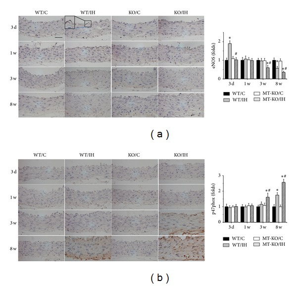 Effects of MT on eNOS and p47phox expression in aorta. Aortic eNOS (a) and p47phox (b) expression were examined by immunohistochemical staining, followed by semiquantitative analysis. Data were presented as means ± SDs ( n = 6); * P