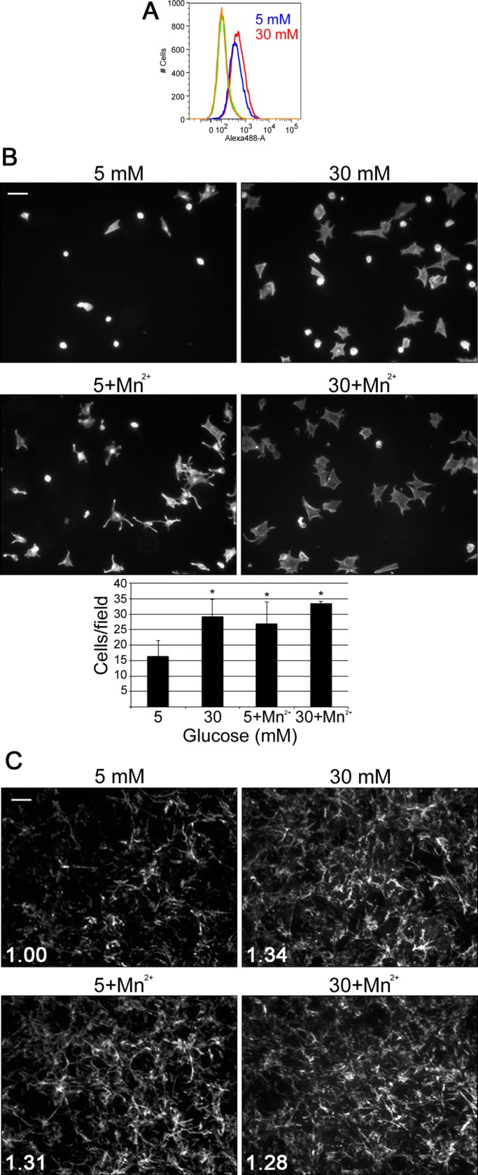 Mn 2+ stimulates assembly of FN matrix in normal glucose. Mesangial cells were grown in normal or high glucose media and then labeled with an anti–α5β1 integrin antibody for analysis by flow cytometry (A), replated on FN-coated coverslips (B), or fixed and stained with IC3 anti-rat FN monoclonal antibody (C). (A) The graph is representative of two independent experiments. (B) Cells were incubated for 1 h at 37°C with or without 1.0 mM MnCl 2 before unattached cells were washed away. Attached cells were fixed and stained with rhodamine–phalloidin, and 15 fields/condition were counted. Images are representative; scale bar, 100 μm. Bar graph shows the mean of two to four independent experiments ± 1 SD; * p