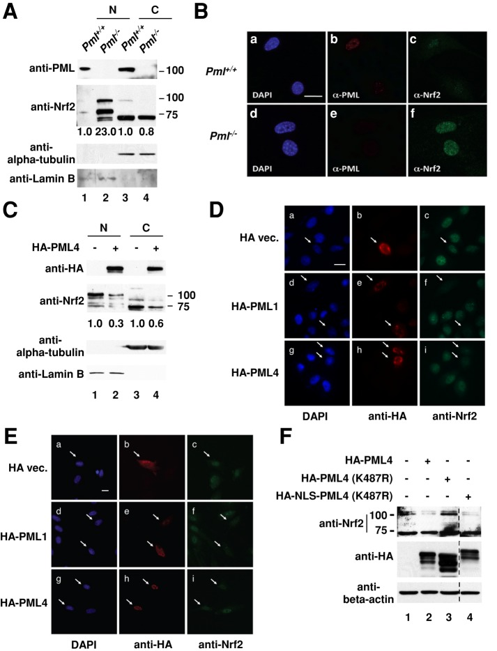 PML inhibits nuclear accumulation of Nrf2. (A) Subcellular fractionation and immunoblotting analysis of Pml +/+ and Pml −/− MEFs. Nuclear and cytoplasmic fractions prepared from Pml +/+ and Pml −/− MEFs were subjected to immunoblotting analysis with the indicated antibodies. Lamin B and α-tubulin were used as loading controls for nuclear and cytoplasmic fractions, respectively. Relative intensities of the bands are normalized to both loading control and Pml +/+ . N, nucleus; C, cytoplasm. (B) Immunofluorescence analysis of MEFs. Cells were immunostained with anti-PML and anti-Nrf2 antibodies, and images were taken by a fluorescence microscope. DAPI-stained nuclei (a, d); PML (b, e); Nrf2 (c, f). Scale bar, 20 μm. (C) Subcellular fractionation and immunoblotting analysis of HeLa cells with PML overexpression. HeLa cells were transfected with plasmids expressing HA-tagged PML4. Nuclear and cytoplasmic fractions prepared from transfected HeLa cells were subjected to immunoblotting analysis with the indicated antibodies. Relative intensities of the bands are normalized to both loading control and vector control. N, nucleus; C, cytoplasm. (D) Immunofluorescence analysis of HeLa cells with PML1 or PML4 overexpression. HeLa cells were transfected with plasmids expressing HA-tagged PML1 or PML4. Cells were immunostained with anti-HA and anti-Nrf2 antibodies, and images were taken on a fluorescence microscope. DAPI-stained nuclei (a, d, g); HA-tagged PML (b, e, h); endogenous Nrf2 (c, f, i). The arrows mark cells expressing transfected PML. Scale bar, 20 μm. (E) Immunofluorescence analysis of HUVECs with PML1 or PML4 overexpression. The experiments were performed as described in D. (F) The effects of nuclear and cytoplasmic mutants of PML4 overexpression on endogenous Nrf2 protein abundance in HeLa cells. HeLa cells were transfected with plasmids expressing HA-tagged PML4 (wild type), PML4 (K487R), and NLS-PML4 (K487R). Dividing line marks edges of different parts of the same gel.